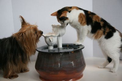 Cat with an Ebi drinking fountain