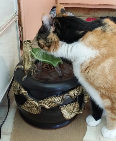 Norals cat with an Ebi drinking fountain