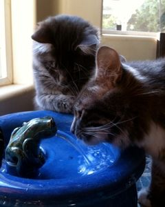 Ash and Bishop love their EBI cat drinking fountain